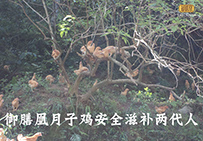 御膳凰月子鸡在树上休息